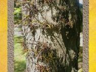 D'après l'arbre dit Epine du Christ, château de Beaulon, Charente Maritime. (Marsailly/Blogostelle)